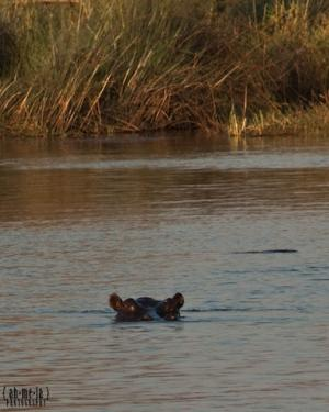 Hippo's ears above the water